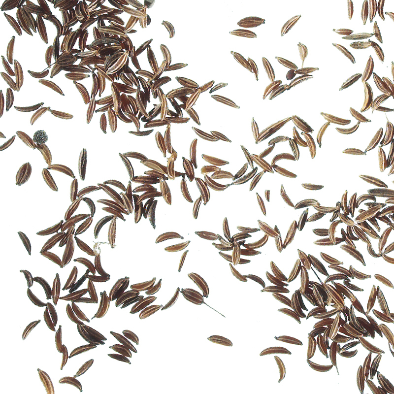 Caraway seeds, cleaned